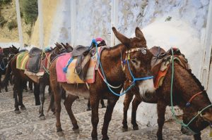 Donkeys from Old port in Santorini to Fira