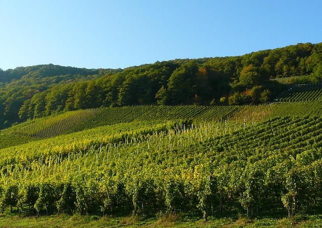 vineyard in Paris